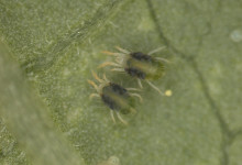 Two females on a bean leaf